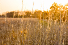 Golden Field Of Grass At Sunset