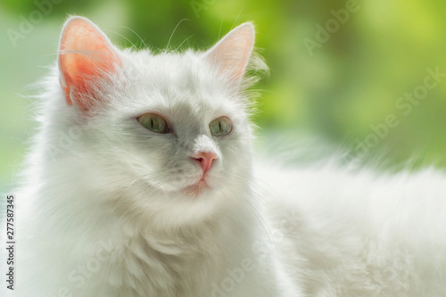 Photo Portrait of white kitty of Turkish Angora breed on soft sunny background