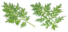 Two Branches Of Wormwood Isolated On White Background