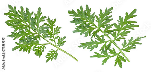 Two branches of wormwood isolated on white background Wallpaper Mural