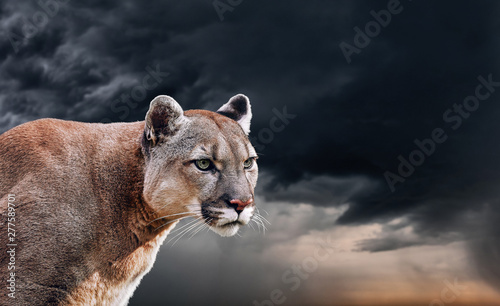 Poster Puma Portrait of a cougar, mountain lion, puma, panther, striking a pose on a fallen tree, winter mountains, against the background of storm clouds