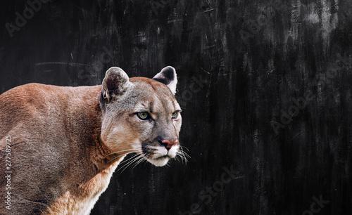 Foto Portrait of Beautiful Puma, Puma in the dark. American cougar