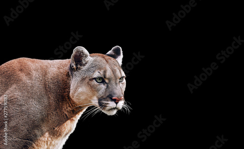 Spoed Fotobehang Puma Portrait of Beautiful Puma. Cougar, mountain lion, isolated on black backgrounds
