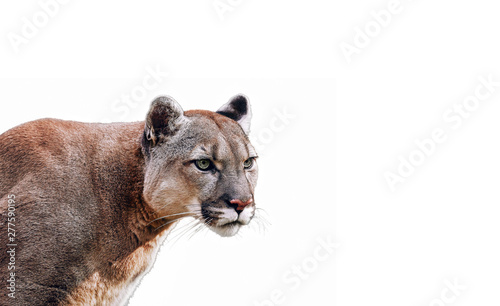Spoed Fotobehang Puma Portrait of Beautiful Puma. Cougar, mountain lion, isolated on white backgrounds