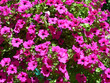 canvas print picture - Lots of Petunia bright pink flowers on bright sunlight in July outdoors