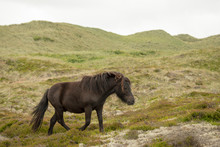 Shetland Pony In The Heath