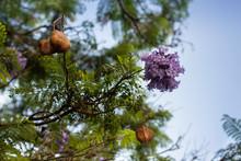 Lilac Flowers On Branch Of Jakaranda Blooming Tree