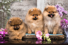 Beautiful Orange Dog - Pomeranian Spitz. Puppy Pomeranian Dog Cute Pet Happy Smile  In Flowers