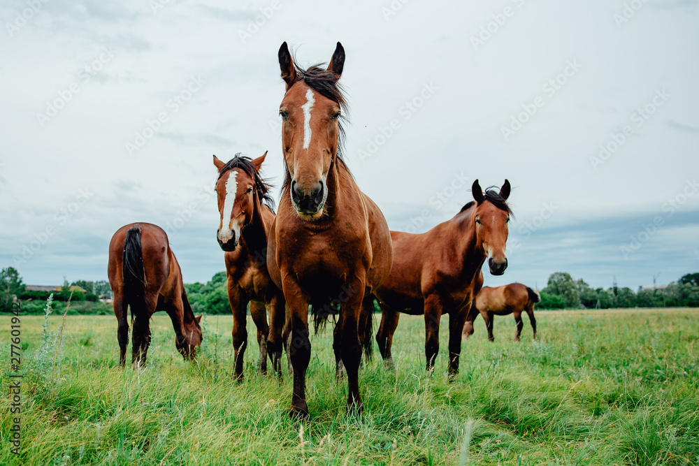 Fototapeta Group of wild free running brown horses on a meadow