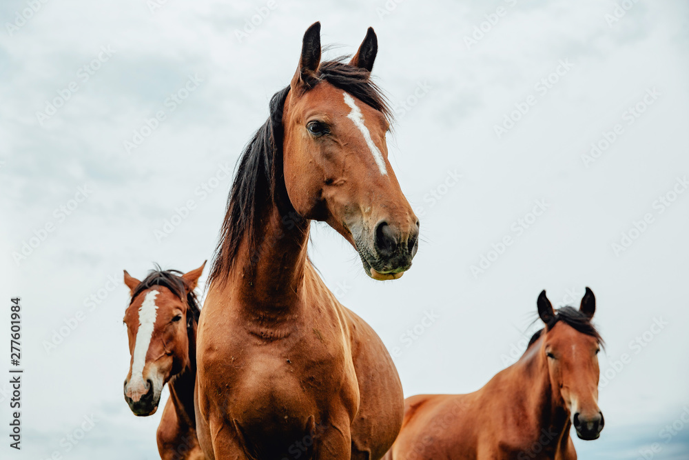 Fototapety, obrazy: Group of wild free running brown horses on a meadow