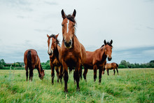 Group Of Wild Free Running Brown Horses On A Meadow
