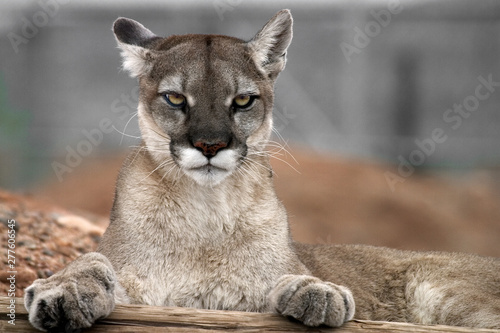 Tuinposter Puma Mountain lion with paws on wood staring at the camera.