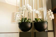 White Orchid Flower In Round Black Pot, Modern Fine Restaurant Decor, Floral Decoration