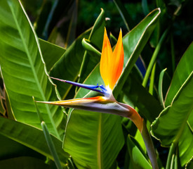 Panel Szklany Egzotyczne colorful bird of paradise flower closeup with dark green blurred leaf background