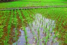 田植えを終えた田んぼの風景23