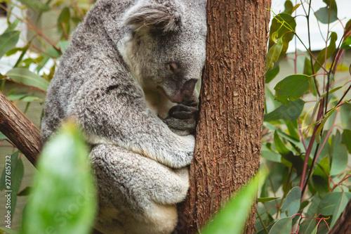 Printed kitchen splashbacks Australia cute fluffy koala bear sitting sleeping on his branch