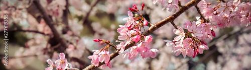 Fotobehang Kersenbloesem Cherry Blossom 20