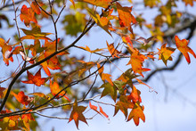 Fall Colors Shine Through Maple Leaves In Cradle Creek Preserve In Jacksonville Beach, Florida