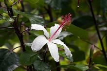 Sydney Australia, Raindrops On Hawaiian White Hibiscus Flower With Long Red Stamen