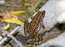 Leopard Frog (Rana Sphenocephala)