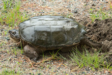 Snapping Turtle Laying Eggs In...