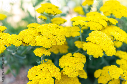 Closeup of yellow flowers of achillea moonshine yarrow plant with bokeh background