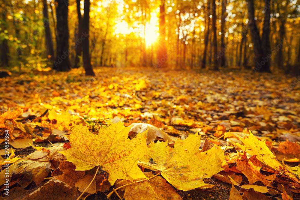 Fototapety, obrazy: Bright foliage in sunny autumn park