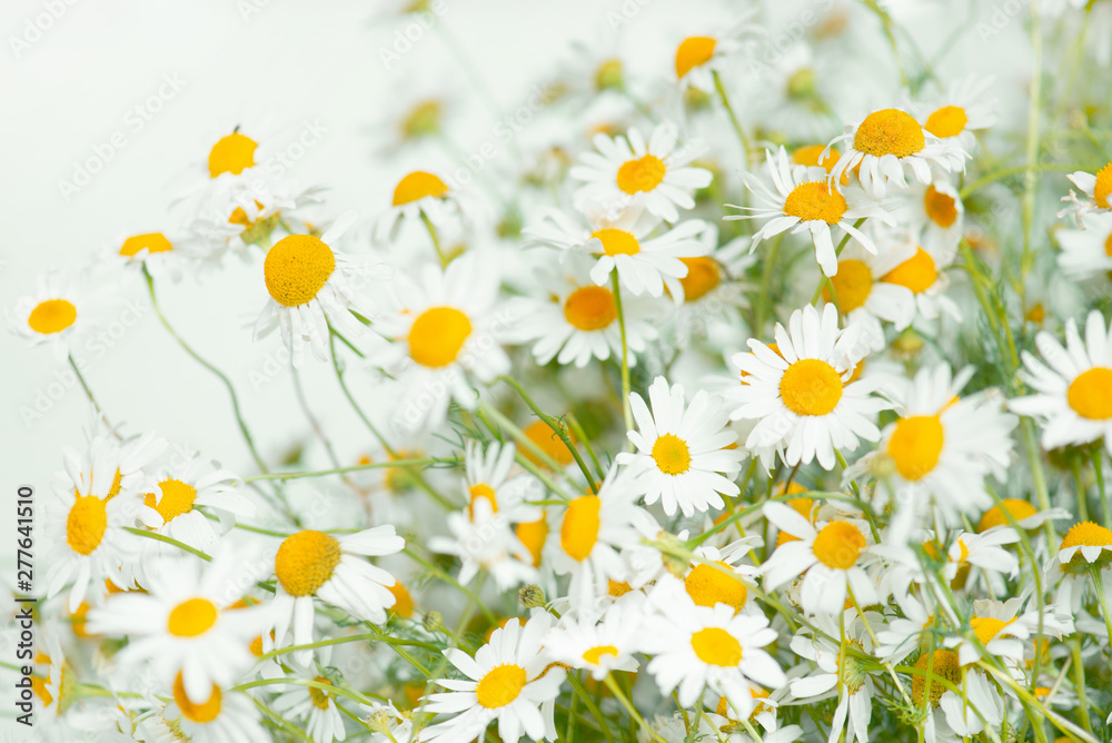 Fototapety, obrazy: Fresh bouquet of camomiles
