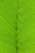 Green Leaf Background, Leaf Te...