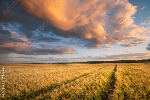 Poster Miel Autumn background. Barley field.