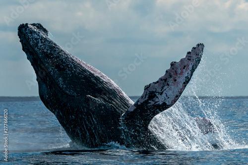 Fotografie, Obraz humpback whale breaching in cabo san lucas