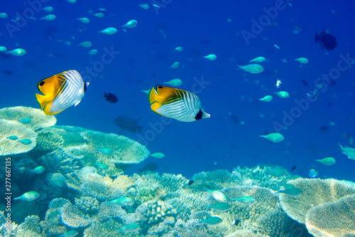 Poster Coral reefs Fishes in corals. Maldives. Indian ocean.