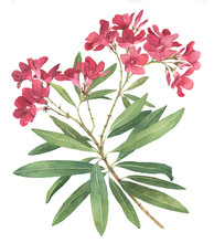 Rhododendron Watercolor Illust...