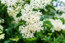 Cluster Of Elder Flowers Sambucus Nigra