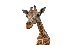 Closeup Giraffe Isolated On White Background