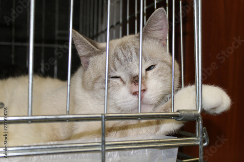 Photo  White cat named Hodor sitting in a cage in a shelter for homeless cats