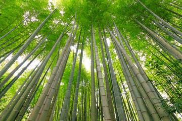 Fototapeta Bambus 国造神社 竹林 熊本県阿蘇市
