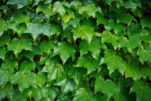 Green Boston Ivy Leaves Cover ...