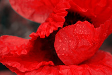Close Up Of Red Poppy In The Sunlight. Selective Focus.