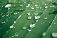 Drops Of Water On The Leaves. ...