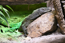 Resting Monitor Lizard In Terrarium.