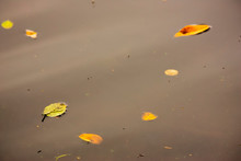 Beech And Laurel Leaves Floating On A Calm Lake