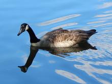 Closeup Of A Canada Goose Swim...