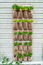 Plant Pockets Filled With Parsley Plants On A South Facing Wall..
