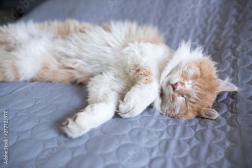 Fototapeta young cream tabby white ginger maine coon cat lying on side on gray blanket on the bed sleeping obraz na płótnie