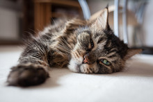Maine Coon Cat Lying On Floor