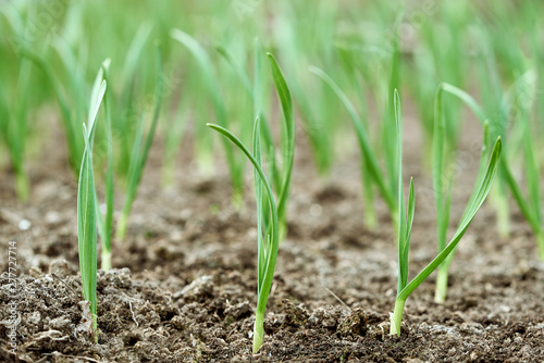 Fotografia  Early garlic plants on a ground in spring close up.