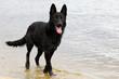 wet black shepherd dog runs along the beach