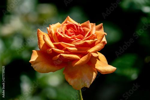colourful close up of a single ashram floribunda rose head Canvas Print