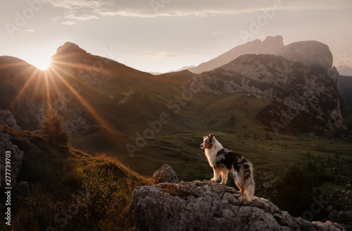 Foto auf Leinwand Dunkelbraun dog on the mountain at sunset. Travelling with a pet, Hiking. Australian shepherd in nature